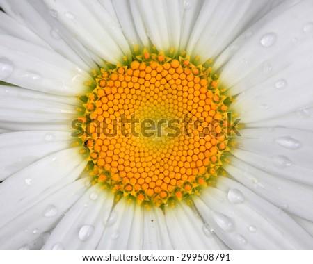 Close up shot of white Daisy flower  - stock photo