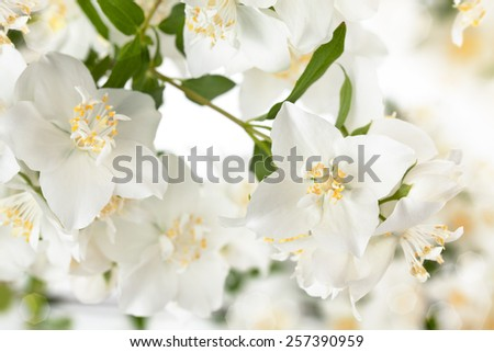 Close up shot of white jasmine flowers.