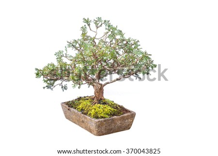Close up shot Thai bonsai in plant box isolate white background