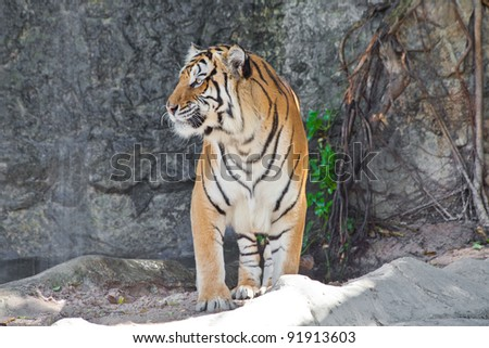 Close up Siberian Tiger in a zoo - stock photo