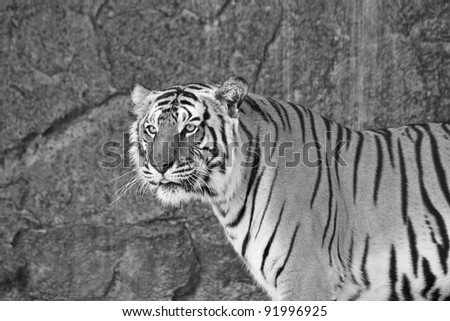 Close up Siberian Tiger in a zoo in black and white - stock photo