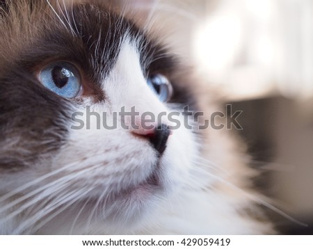 Close up Side Angle Facial Macro of Bi Color Ragdoll Cat with Blue Eyes and Black Button Nose and Long Whiskers Looking to The Side