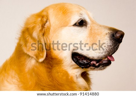 close up side view of a Golden Retriever - stock photo