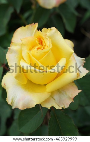 Open Rose Side View