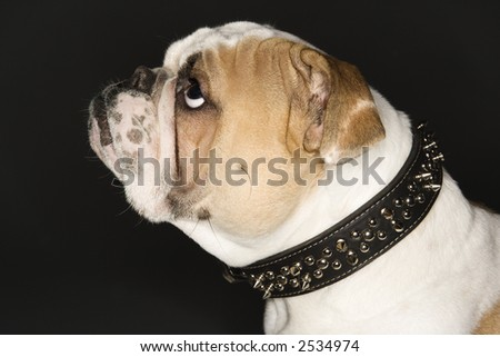 Close-up side view of English bulldog wearing spiked collar.