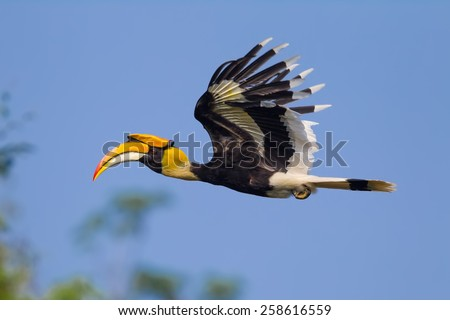 Close up side view of flying Great hornbill (Buceros bicornis) in nature at Khaoyai national park,Thailand - stock photo