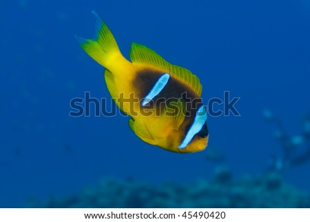 Close up,  Side view of one Red sea anemone fish (amphiprion bicinctus). Red Sea, Egypt. - stock photo