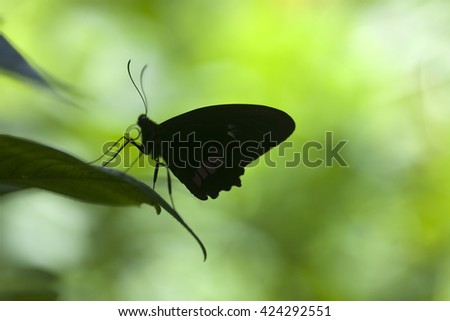 Close-up silhouette of a tropical butterfly against a rain forest background
