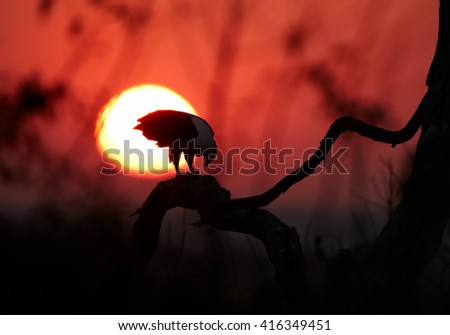 Close-up silhouette of an african raptor,  African fish eagle, Haliaeetus vocifer eating fish on branch against solar disc in red colored early morning on Chobe river, Botswana. - stock photo