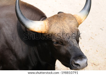 Close up single gaur in public zoo.