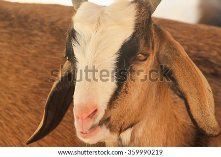 Close up Single little brown domestic goat (Capra aegagrus hircus)