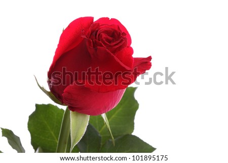 Close up single red rose flower on white background