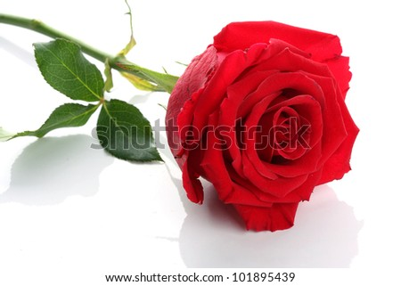 Close up single red rose flower on white background - stock photo