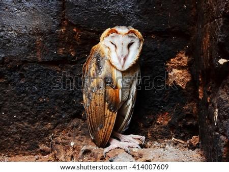 Close up sleeping a Barn Owl. - stock photo