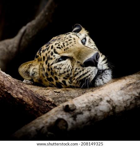 close up sleepy Leopard Portrait - stock photo