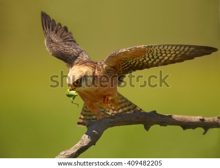 Close up  small falcon, Red-footed Falcon, Falco vespertinus, female with outstretched wings and grasshopper prey in its beak on branch in warm light isolated on green background. Hungary. - stock photo