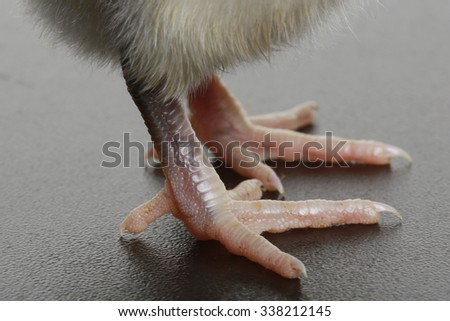 close-up small fluffy chicken legs on a light background studio - stock photo