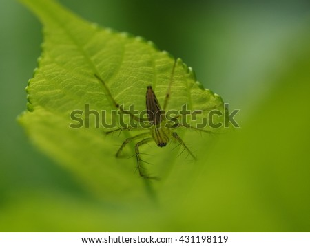 close up small garden spider perch on young leaf of mulberry tree plant in home garden - stock photo