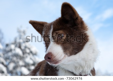 close-up snout of white-brown Chukchi husky sled dog