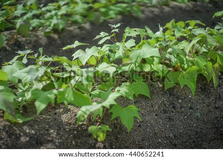 Close up soybean plants in a field,soybean field with rows of soya bean plants, selective focus, - stock photo