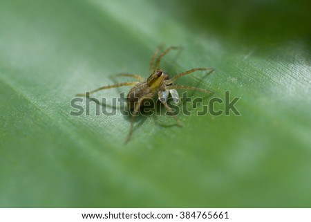 close up Spider eating prey on the banana leaf. - stock photo