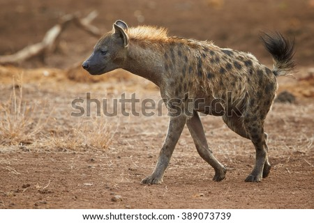 Close up Spotted hyena, Crocuta crocuta with upright mane and tale, preparing for attack near watehole in Kruger National Park, South Africa. Side view. - stock photo