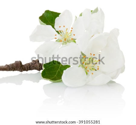 Close-up spring flowers of fruit tree isolated on white background - stock photo