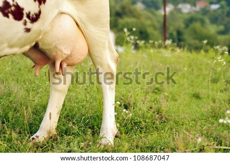 Close up stock image of cow's udder
