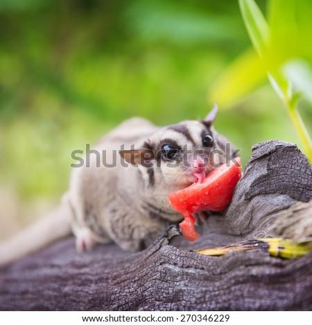 close up sugar glider eating watermelon focus at tongue - stock photo