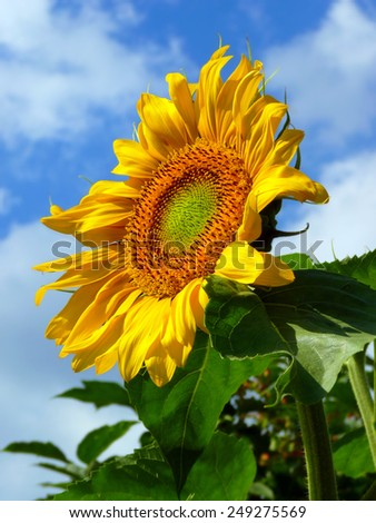Close-up summer bright sunflower over cloudy blue sky - stock photo