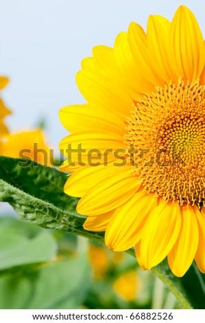 Close-up Sun Flower - stock photo