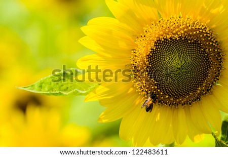 Close up Sunflower and the Bee - stock photo