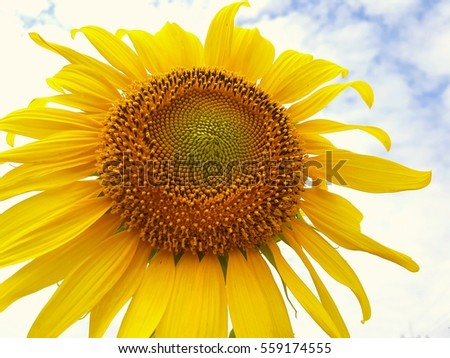 close up sunflower in sunlight