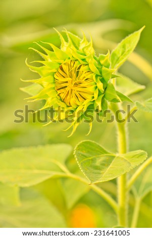 Close up sunflower  on green background - stock photo