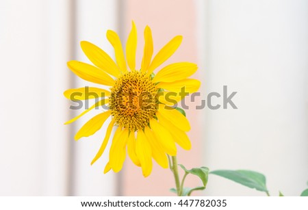 close up Sunflower on old wall background with select focus