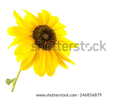 Close-up Sunflower  on white background - stock photo