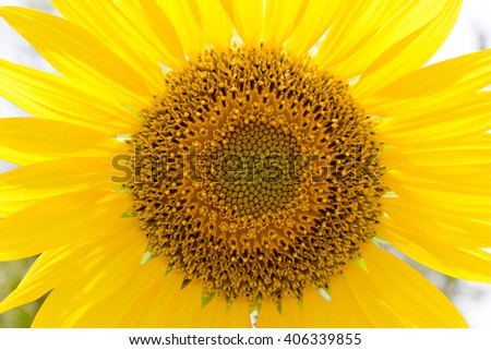 close up Sunflower pollen . Natural colors