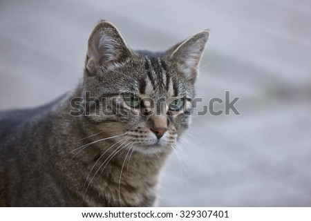 Close Up Tabby Cat blurry background Ontario Canada - stock photo