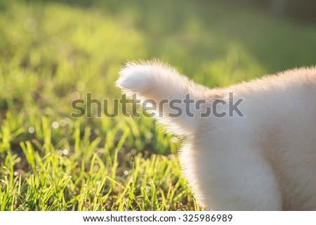 Close up tail of siberian husky puppy - stock photo