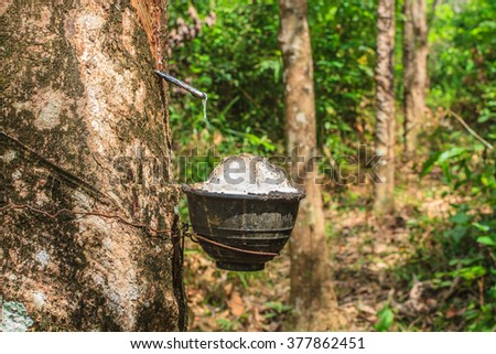 close up Tapping latex from a rubber tree