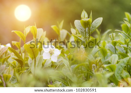 Close-up tea bud and leaves in Tea plantations in the sunshine - stock photo
