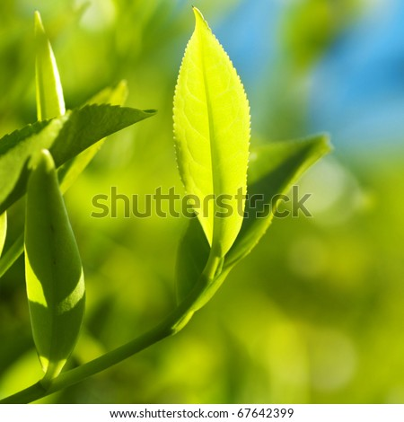 Close up tea leaves with morning sunlight, Cameron Highland Malaysia. - stock photo