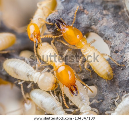 Close up termites or white ants in Thailand - stock photo