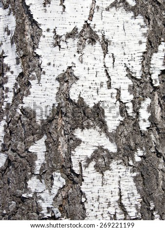 Close up texture of bark of a birch