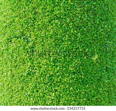 Close-up texture of green trimmed bush. - stock photo