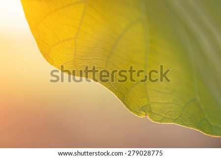 Close up texture of tree leaf in sunset time for backgound - stock photo