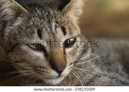 Close up Thai cat face - stock photo