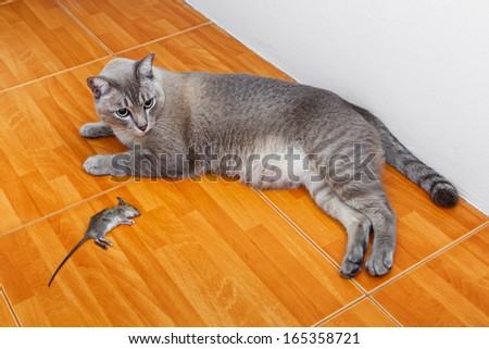Close up Thai cat kill rat or mouse on ceramic floor tiles  - stock photo