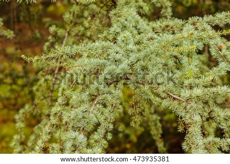 Close up the branches of evergreen trees in the forest; note shallow depth of field