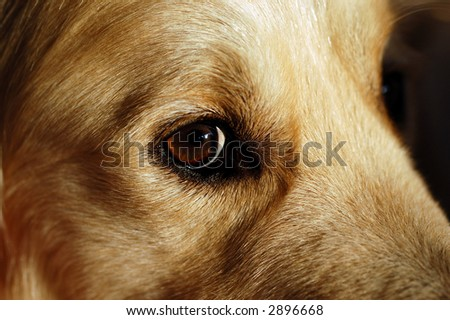 Close-up the eye of a male golden retriever, very warm colors